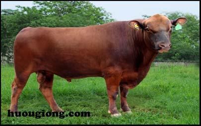 ý nghĩa nuôi bò