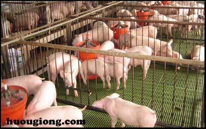 trang trại nuôi lợn