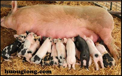 lợn đẹp