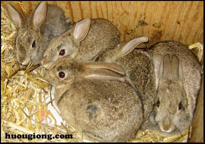 thỏ nuôi
