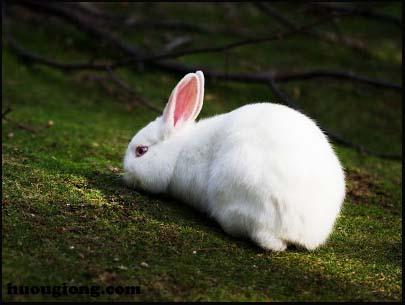 thỏ trắng