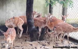 Hướng dẫn nuôi nai hươu