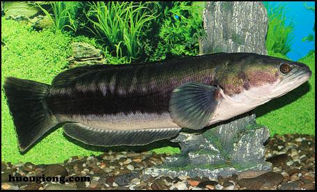 cá lóc bông