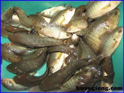 Làm giàu với nghề nuôi cá rô đồng