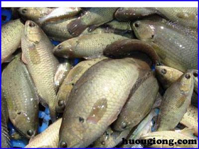 Hướng dẫn nuôi cá rô đồng