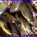 Mô hình nuôi cá rô đồng
