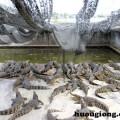Làm giàu với nghề nuôi cá sấu