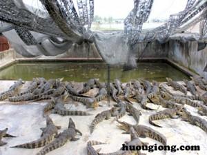 Hướng dẫn kỹ thuật nuôi cá sấu