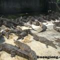 Phương pháp nuôi cá sấu