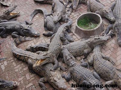 Hướng dẫn nuôi cá sấu