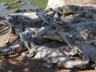 Kỹ thuật nuôi cá sấu